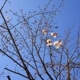 今日の桜便り